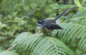 new-zealand-fantail-3729278_960_720