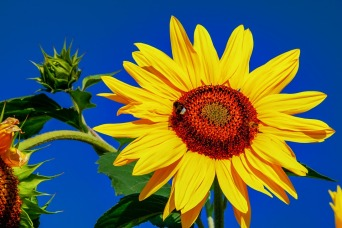 sunflower-3659650_960_720
