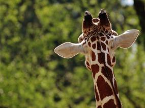 giraffe-1341638_960_720